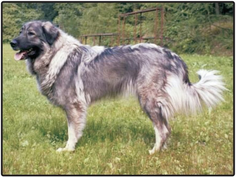 YUGOSLAVIAN SHEPHERD DOG-SHARPLANINA