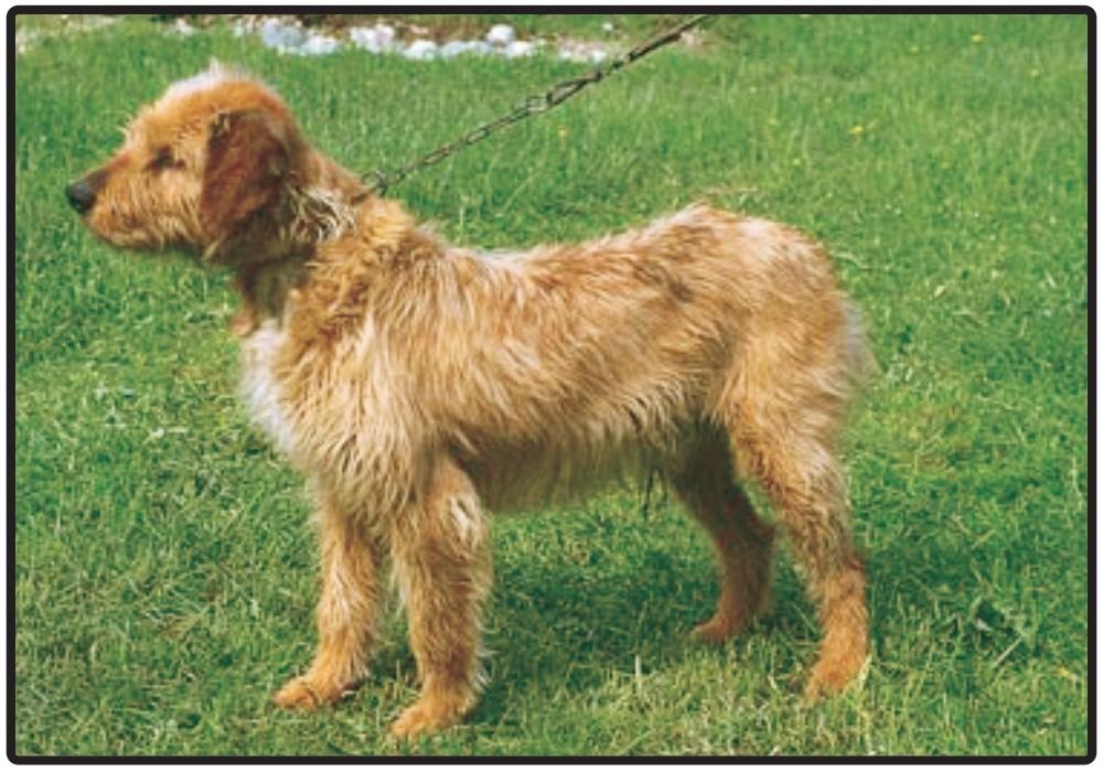 Bosnian Broken-haired Hound-Called Barak