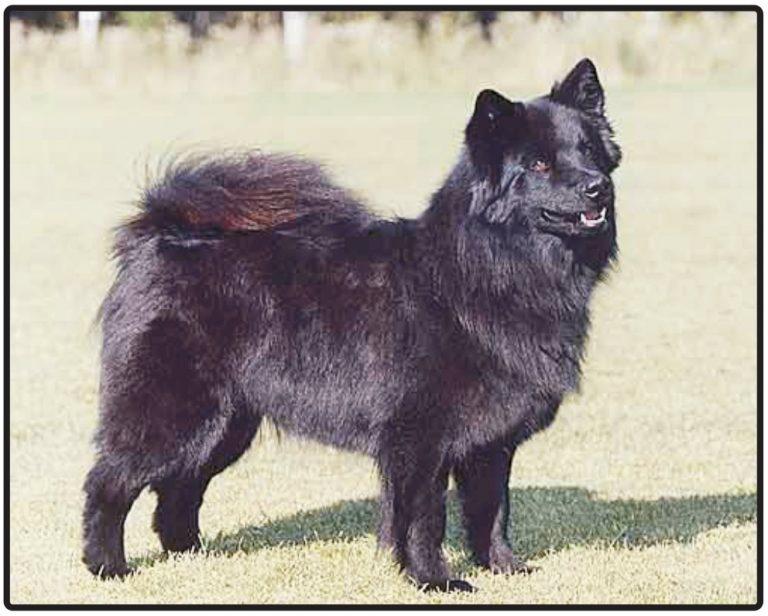 Finnish Lapponian Dog