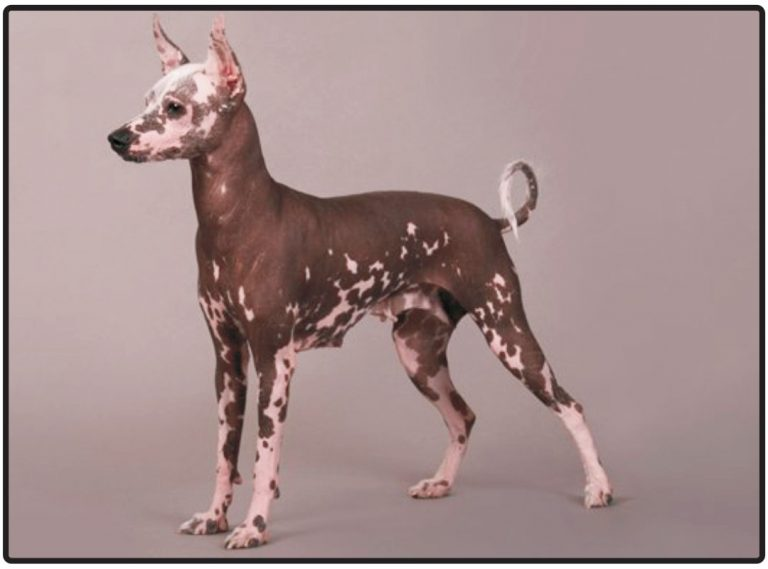 Meksički golokoži pas