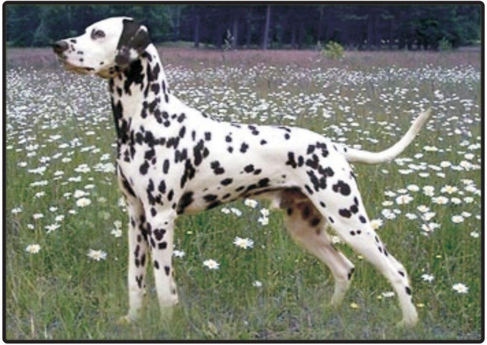 Dalmatinski pas (Dalmatinac)