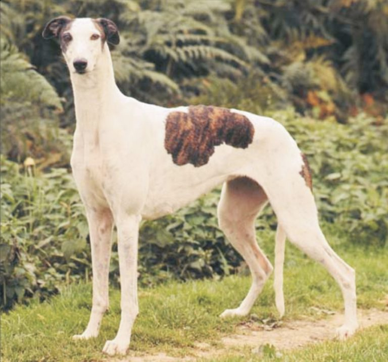 Veliki engleski hrt-Grejhund
